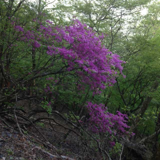雲取山の登山写真「ツツジの花」