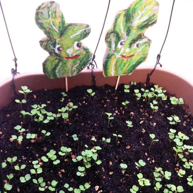 ルッコラ収穫とイラスト「芽が出てきた」