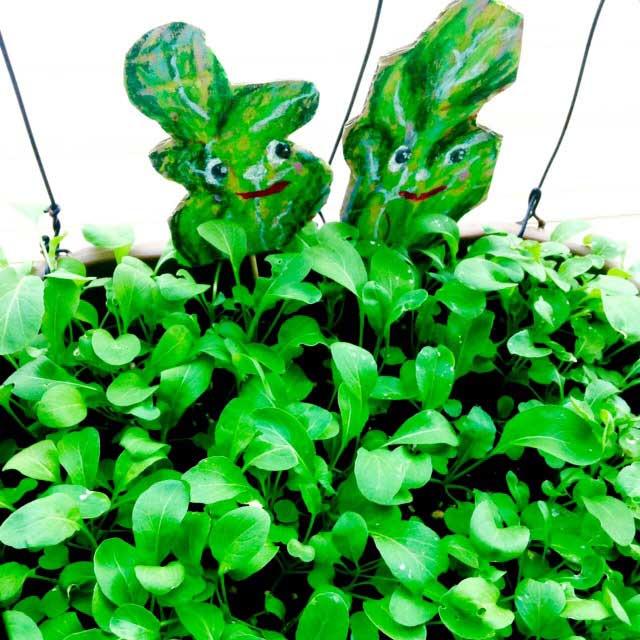 ルッコラ収穫とイラスト「双葉が茂ってきた」