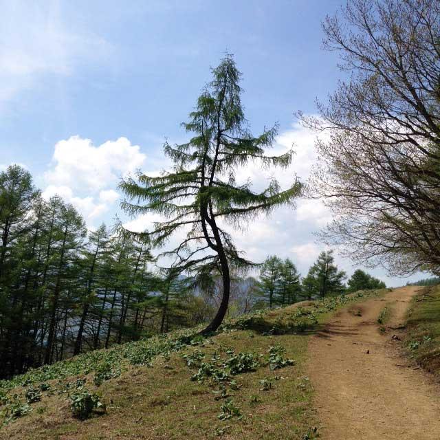 2017mの雲取山へ登る1「変な木」
