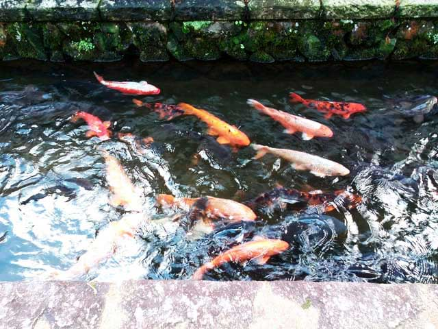 飛騨古川・高山へ行く「飛騨古川の町並み、鯉」