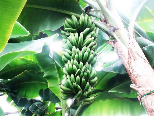熱川バナナワニ園へ行く「バナナ」