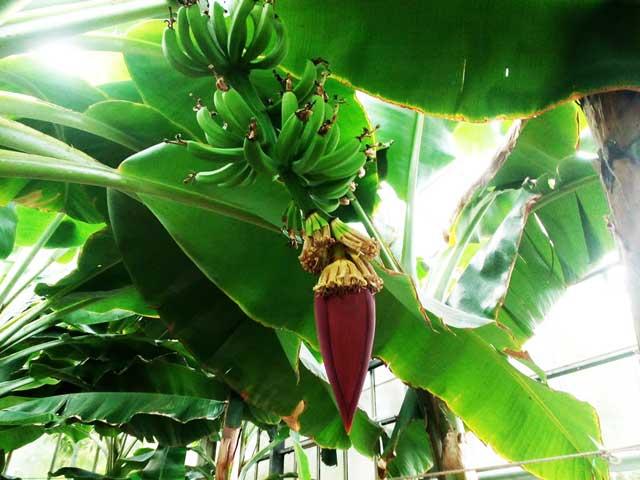 熱川バナナワニ園へ行く「バナナの花」