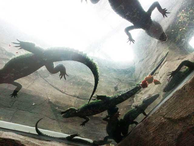 熱川バナナワニ園へ行く「下から見るワニ」
