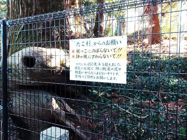 高尾山へ行く2019「たこ杉」