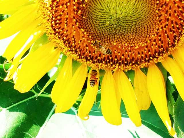 ひまわりフェスティバルに行く「ひまわりとハチ」